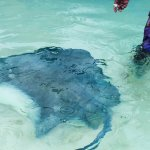 The stingrays just come by themselves as soon as they see the boat approaching.