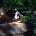 Roosters on the land, living in harmony with the setting.