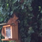 Rylstone red squirrels  who visit everyday