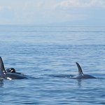 Two female orcas and a juvenile in close proximity to the boat.