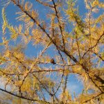 Tamarack needles in golden yellow color (before they fall) 10/2014