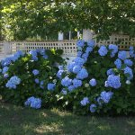 These gorgeous flowers are next to the parking area and run along the white picket fence