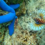 A starfish and a lionfish.