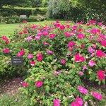 Fabuleuse Rose de Provins !