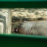 Бегемот спит