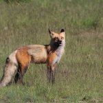 One of the adult foxes.