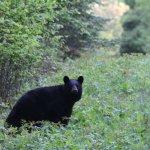 Bear seen on the Burma Trail off the Thunder Bay scenic drive.