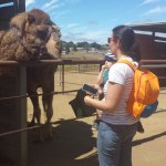 Getting to know the camels at Oasis Camel Farm.