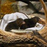 2 Dwarf mongoose...mongeese?
