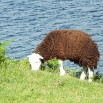 Wastwater and Herdwick Sheep