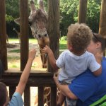 Feed the giraffes