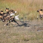 Painted Dogs chasing Impala!