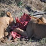 Lionesses on a kill.