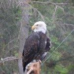 Bald eagle on his perch