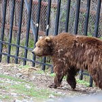 younger brown bear after playing in the water