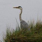 Grey heron in the rain