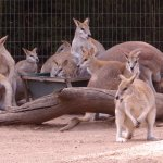 Kangaroo clan at the Featherdale Wildlife Park