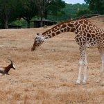 A giraffe and an antelope