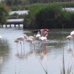 flamands roses du parc ornithologique,en face de l'auberge de la Fadaise