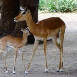 Impala mother and child