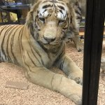 Seeing these large Cats so up close is amazing.
