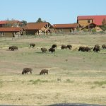 Buffalo grazing in front of cabins at Zion Mountain Ranch.