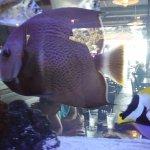large fish in aquarium