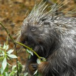 Old man Porcupine