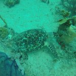 Turtle during Playa dive!