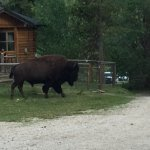 Buffalo Bob, Fred or Scratch, He has many names. He travels through on the grounds near the cabi