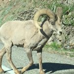 5 of the Big Horn stopped traffic on East end of Yellowstone entrance.