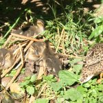 Mama duck with ducklings