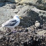 24 hour old baby sea gull