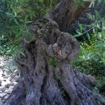 olivier très vieux
