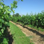 A close up of the beautiful vineyards that surround the B&B