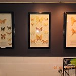 Real Butterflies preserved and framed  after their death