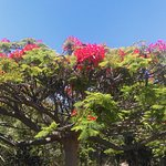 Huge Flamboyant Flame Tree
