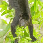 Wildlife:  Black Howler Monkey