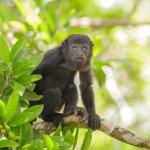 Wildlife:  Black Howler Monkeys