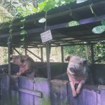 The pigs seemed content.
