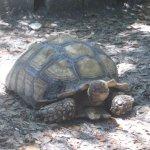 Giant Turrtle