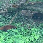 Red Panda enclosure