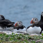 Puffins are just one type of seabird to see at Farne Islands