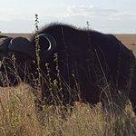One of hundreds of buffalo