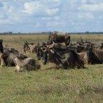 Wildebeest (Gnus)