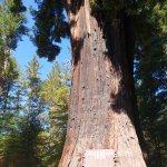 The huge Chandelier Tree