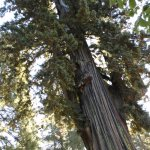 Wonderful Coastal Redwood