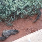 A family of javelinas in their natural habitat right outside our balcony