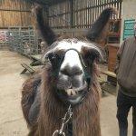 Chester the llama!