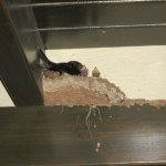 Swallows nestling in the rafters